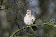 Collared dove, Streptopelia decaocto Royalty Free Stock Photo