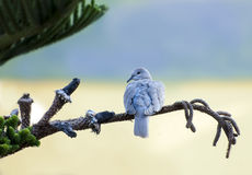 Collared dove,  Streptopelia senegalensis Royalty Free Stock Image