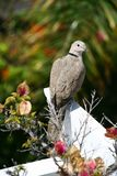 Collared Dove (Streptopelia turtur) Stock Photo