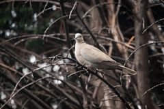 Collared Dove in Tree. A collared dove Streptopelia decaocto resting on a branch in a tree Stock Photography