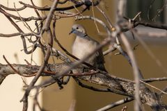 Collared Dove in urban landscape royalty free stock images