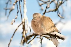 Collared dove Stock Image