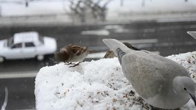 Collared doves and house sparrows feeding stock video