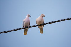 Collared Doves in love. Collared Doves, Streptopelia decaocto, together perched on an electricity wire. Collared Doves birds in love as valentine love symbol royalty free stock image