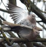Collared Doves mating in a tree stock photo