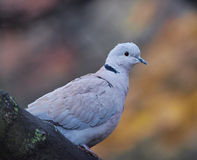 Collared Duif stock foto