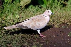 Collared duif die zich op grasgebied bevinden Stock Foto