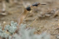 Collared dwarf snake (Eirenis collaris) with neck raised and tongue out Royalty Free Stock Image