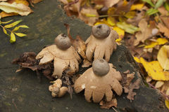 Collared earthstar Stock Photo