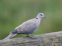 Collared eurasian decaocto горлицы голубя Стоковые Изображения RF