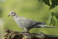 collared eurasian dove Стоковое Изображение