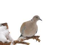 collared eurasian dove стоковые изображения rf