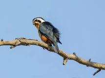Collared falconet: Bird of prey Royalty Free Stock Photo