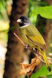 Collared Finch-billed Bulbul Stock Photography