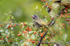 Collared Finchbill Stock Image