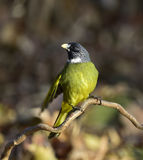 Collared Finchbill Royalty Free Stock Photo