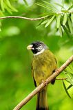 Collared Finchbill (Spizixos semitorques) Stock Photography