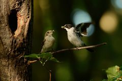 Collared Flycatcher - Ficedula albicollis - black and white male sitting on the branch. And showing his catch to the female next tu nest hole. Green background Royalty Free Stock Images