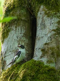 Collared Flycatcher Ficedula albicollis male Royalty Free Stock Images