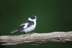 Collared flycatcher, Ficedula albicollis Royalty Free Stock Photo