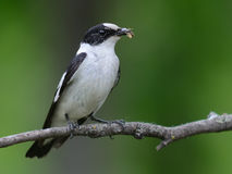Collared Flycatcher Royalty Free Stock Images