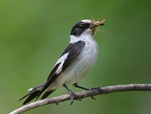 Collared Flycatcher with prey Stock Image