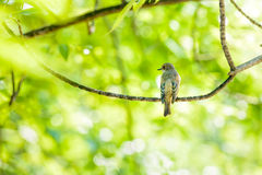 Collared Flycatcher Royalty Free Stock Photography