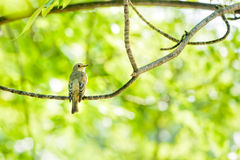 Collared Flycatcher Royalty Free Stock Image