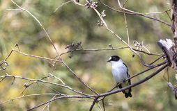 Collared Flycatcher on a Tree Royalty Free Stock Photos
