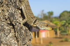 Collared Iguanid. Lizard (Oplurus cuvieri). Also called Collared iguana or Madagascan collared iguana. Tsingy Lodge, Bekopaka, Toliara, Madagascar stock images