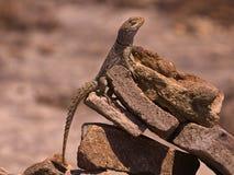 Collared Iguanid. (Oplurus cuvieri) on a pile of rocks Stock Photos