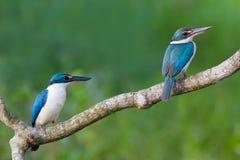Collared Ijsvogel Royalty-vrije Stock Foto's