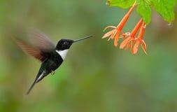 Collared Inca, Coeligena torquata, dark green black and white hummingbird flying next to beautiful orange flower, Colombia Stock Photo