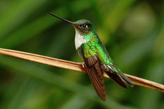 Collared Inca, Coeligena torquata, hummingbird from Mindo forest, bird of Ecuador Royalty Free Stock Images