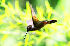 Collared Inca Hummingbird Stock Photo