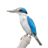 Collared kingfisher bird Stock Photos
