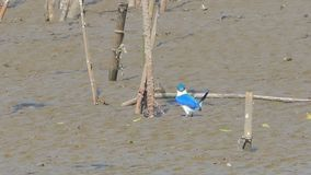 Collared kingfisher bird catching crab on mud. Collared kingfisher bird todiramphus chloris catching crab on mud at mangrove. Animal backgrounds stock footage