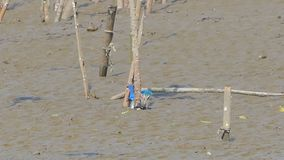 Collared kingfisher bird catching crab on mud. Collared kingfisher bird todiramphus chloris catching crab on mud at mangrove. Animal backgrounds stock video footage