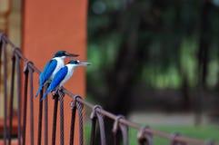 Collared Kingfisher on bridge royalty free stock photography