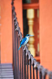 Collared Kingfisher on bridge stock photo