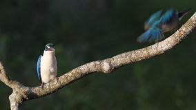 Collared Kingfisher stock video footage