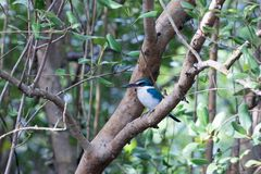 Collared kingfisher. stock photography