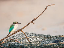 Collared Kingfisher on Fishnet Branch in Morning Light Stock Image