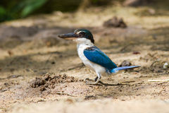 Collared Kingfisher Stock Photo