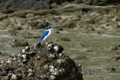 Collared Kingfisher at Langkawi Royalty Free Stock Photos