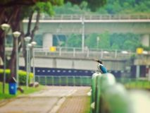 Collared kingfisher in a park. A collared kingfisher perched on a railing along Park Connector Network in Bishan, Singapore (1 May 2015 Royalty Free Stock Photo