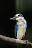 Collared kingfisher on perch Stock Images