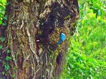 Collared kingfisher (Todiramphus chloris) Royalty Free Stock Photography