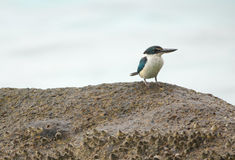 Collared kingfisher Stock Images