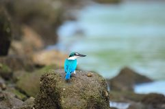Collared Kingfisher Staring Royalty Free Stock Images